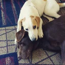 Doação Labradora ( Leia a descrição )