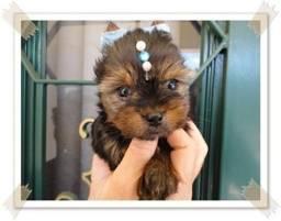 Macho babyface Yorkshire Terrier a venda