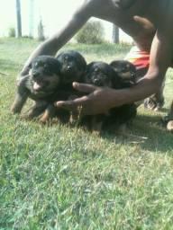 Filhotes de rottweiler gigante