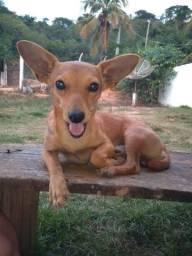 Cachorro Pinscher pra doação
