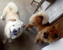 Chow-chows