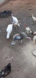 Aves . 3 perus macho