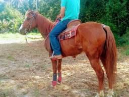 Cavalo quarto milha P.O
