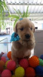 Golden Retriever Macho a Pronta Entrega