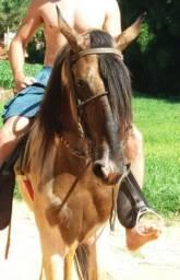 Cavalo Inteiro 06 anos Campolina
