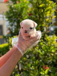 Bulldog Inglês temos 11 clinicas para atender o seu filhote 6 meses gratuito! *