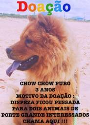 Título do anúncio: Doação de cachorro CHOWCHOW adulto 3 anos macho Guarapari