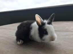 Título do anúncio: Mini coelho filhote netherland