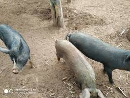 Título do anúncio: Vende-se 3 porcos