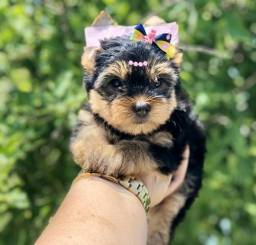 Yorkshire Terrier Fêmea Microchipado