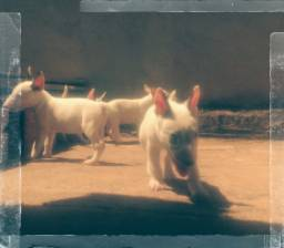 Título do anúncio: Bull terrier inglês 12vezes no cartão. com pedigree