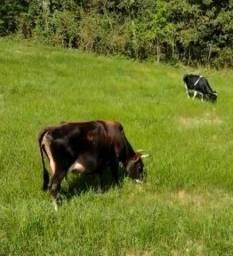 Título do anúncio: Vaca de leite Jersey