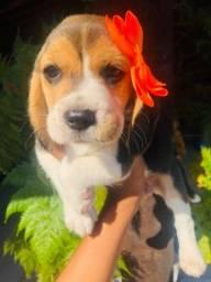 Título do anúncio: Criação com Amor! Beagle 13 Polegadas com Pedigree e Microchip