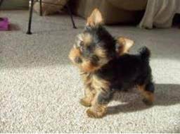 Yorkshire micro imperdivel gold dog