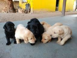 Labrador preto e caramelo