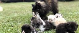 Gatos persa pet