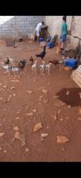 Vende-se frangos caipiras