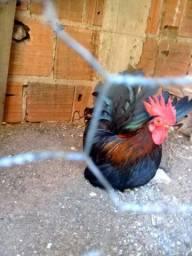 Vendo galinho Nagasaki macho