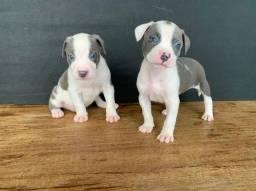 Título do anúncio: Pitbull red nose/ black/ blue, machos e fêmeas