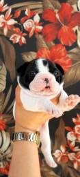 Título do anúncio: bulldog macho filhote.