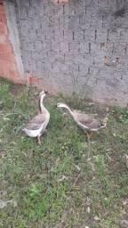 Título do anúncio: casal de ganso