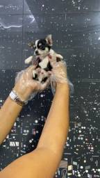 Título do anúncio: Chihuahua filhotes aproximadamente 60 dias