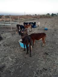 Título do anúncio: Troco vaca Girolanda