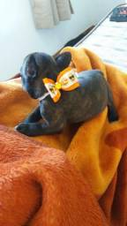 Casal de Bulldog francês 40 dias