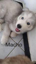 Filhote Husky siberiano macho