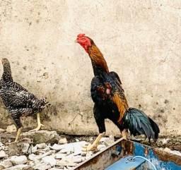Vendo esse galo indiano puro Troco também em galinha