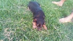 Rottweiler filhote de Rottweiler macho pais americanos