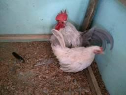 Casal de galinha garnizés