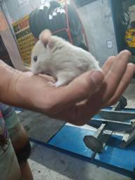 Hamster sirio macho