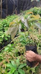 Mudas enxertadas de abacates