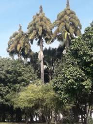 100 Sementes Palmeira Talipot Corypha umbraculifera