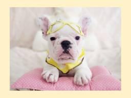 Lindíssima filhote de bulldog francês branca fêmea