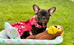 Maravilhosa Fêmea Com Pedigree Bulldog com Duas doses de vacina