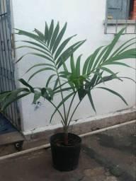 Título do anúncio: Palmeira Havaí