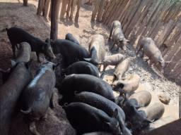 Título do anúncio: Porco caipira