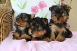 Título do anúncio: Yorkshire Terrier tamanhos micro e padrão filhotes com pedigree