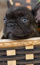 Título do anúncio: Bulldog frances