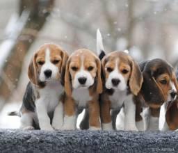 Beagle linda e amorosa
