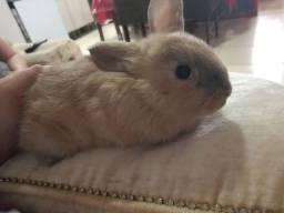 Título do anúncio: Vendo mini coelho
