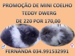 Promoção de Mini Coelho Teddy Dwerg
