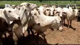 22 vacas NELORE $$ 5280