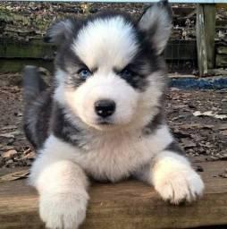 Título do anúncio: Husky Siberiano com garantia
