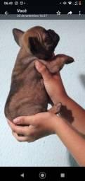 Título do anúncio: Filhote de Bulldog francês fêmea