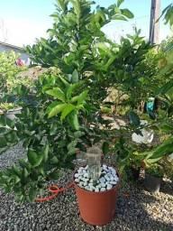 Título do anúncio: Muda de Limão Taiti e Siciliano com frutos