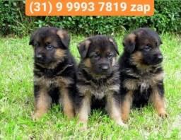 Título do anúncio: Canil os mais lindos, pastor alemão, beagle, labrador, boxer, dálmatas