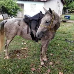 Égua mangalarga marchador com registro